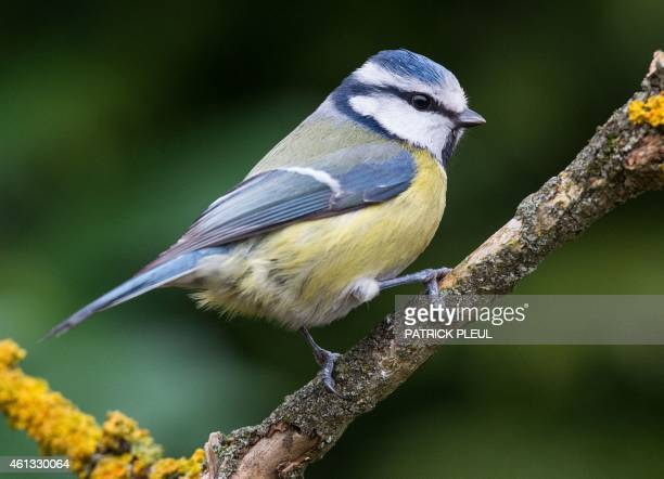 A blue tit sits on a branch in a garden in Sieversdorf eastern Germany on January 11 2015 AFP PHOTO / DPA / PATRICK PLEUL GERMANY OUT