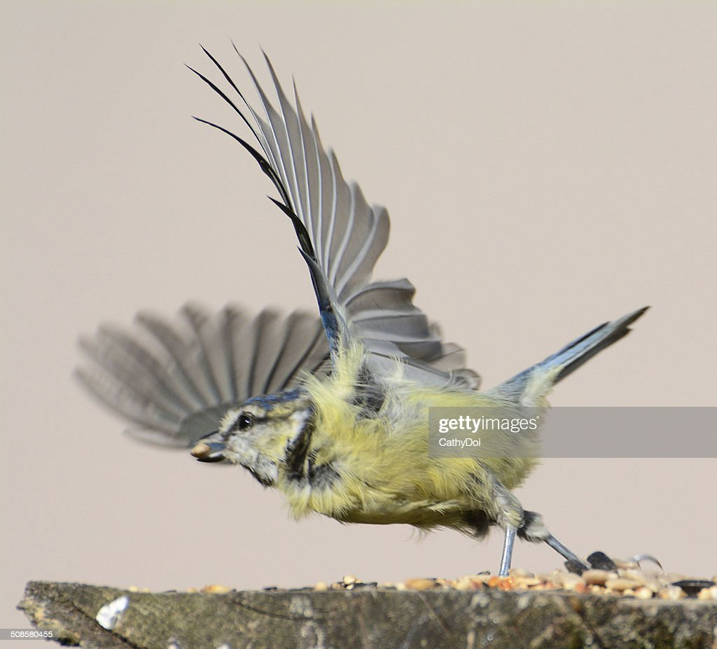 Blue Tit taking off : Stock Photo