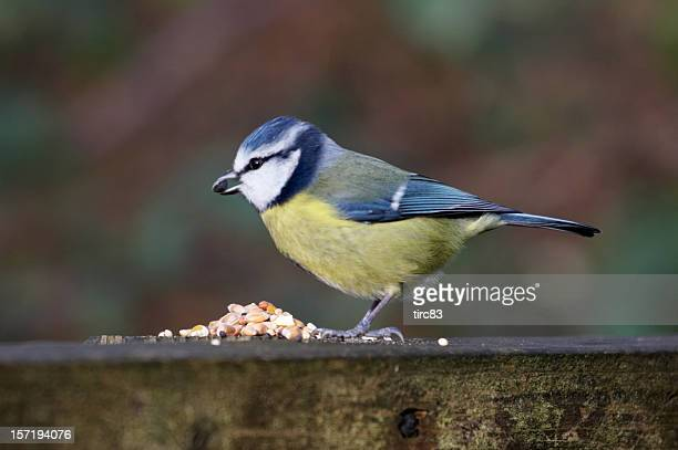 Blue tit with seed