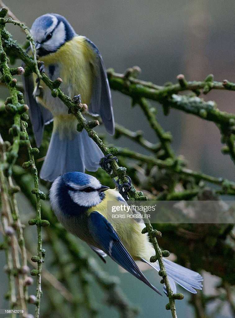 Blue tits sit on branches on December 27, 2012 near Bad Homburg, western Germany.