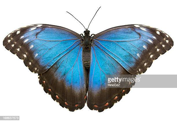 Blue Tropical Butterfly On White