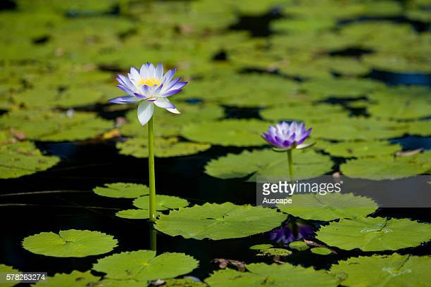 Blue water lilies Nymphaea violacea in a lagoon Mornington Wildlife Sanctuary Central Kimberley region Western Australia Australia