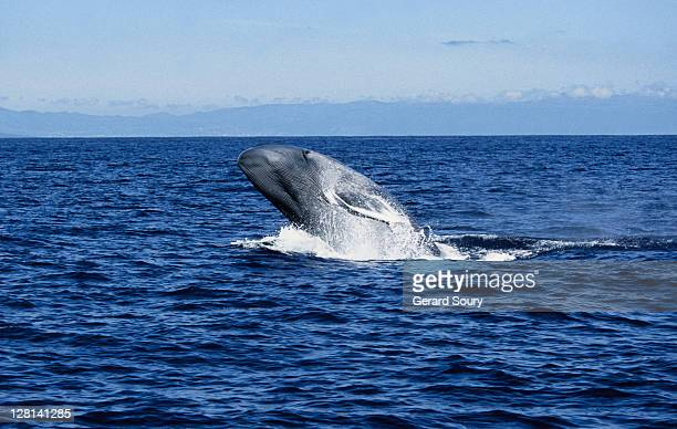 blue whale, balaenoptera musculus, breaching, pico is, azores, portugal