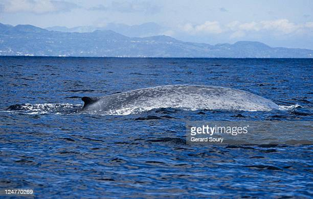 blue whale, balaenoptera musculus, diving, pico is, azores, portugal