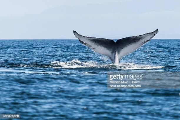 Blue whale (Balaenoptera musculus) tail fluke