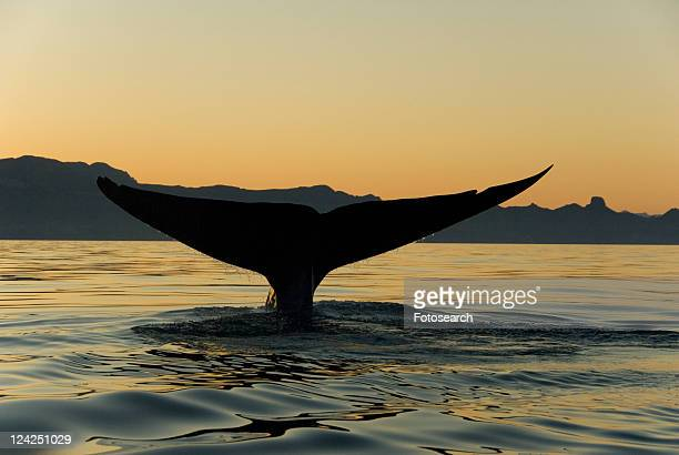 Blue whale (Balaenoptera musculus). The tail of a blue whale against an evening sky. Blue whale tails can be over 20ft across. Gulf of California.