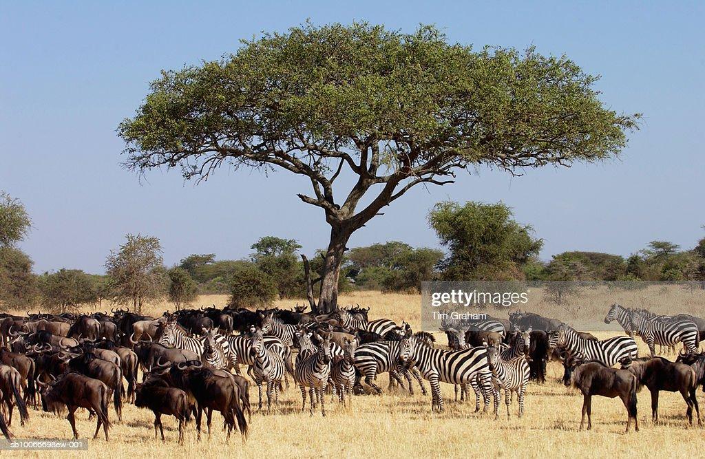 Blue Wildebeest and Zebra, Grumeti, Tanzania : Stock Photo