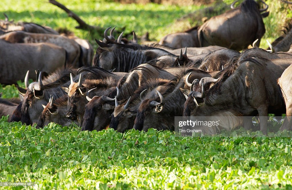 Blue Wildebeest, Grumeti, Tanzania : Stock Photo