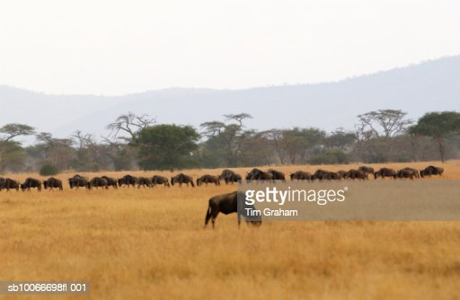 Blue Wildebeest, Grumeti, Tanzania : Stock Photo