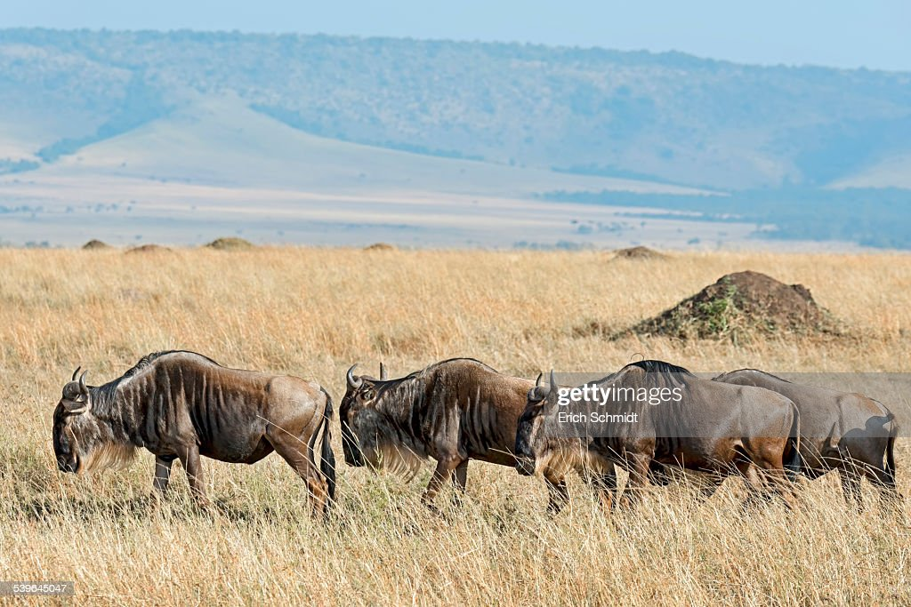 Blue Wildebeest migration -Connochaetes taurinus-, Masai Mara National Reserve, Kenya