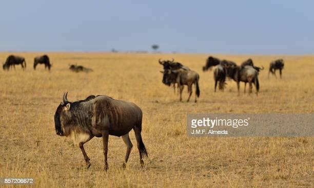 Blue wildebeests (Connochaetes taurinus)