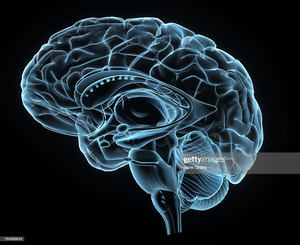 Brain 3d anatomy