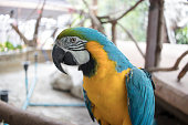 Blue, yellow, green, black and white parrot standing on a branch