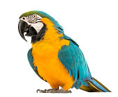 Blue-and-yellow Macaw, Ara ararauna, 30 years old, in front of white background