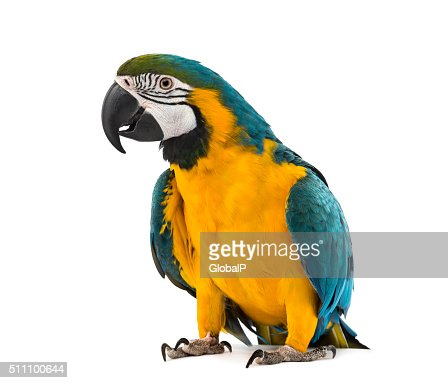 Blue-and-yellow Macaw in front of a white background : Stock Photo