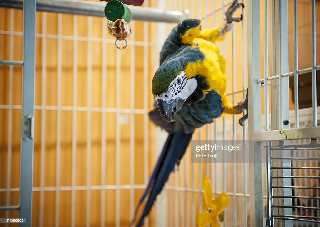 BlueandYellow Macaw looks out from a cage at Torino Iru Cafe on February 23 2014 in Tokyo Japan Located in Kiba Tokyo Torino Iru is a cafe where...