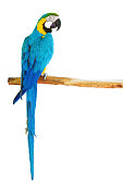 Blue-and-yellow macaw (Ara ararauna) perched on a branch on white background