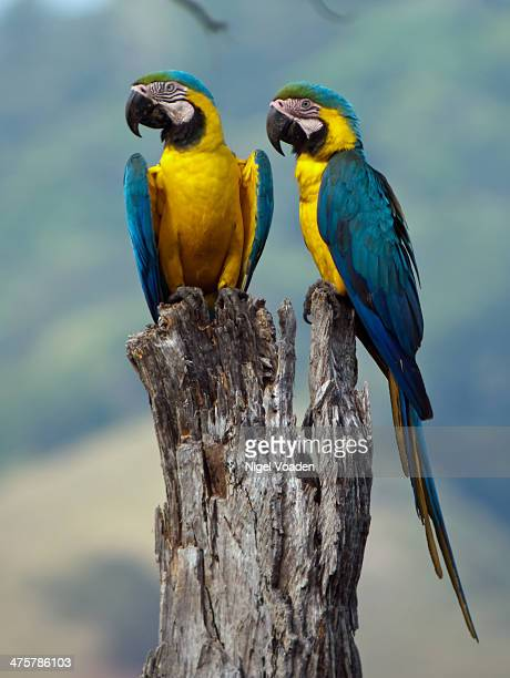 Blue-and-yellow Macaw pair