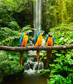 """Blue-and-Yellow Macaw (Ara ararauna), also known as the Blue-and-Gold Macaw"""