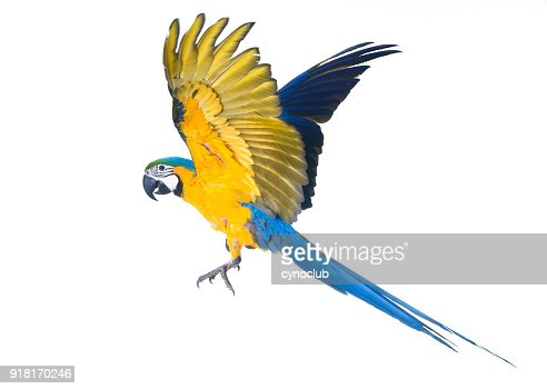 Blue-and-yellow macaw : Stock Photo