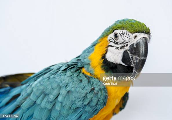A blueandyellow Macaw sits on display at the Torino Iru Cafe on February 23 2014 in Tokyo Japan Located in Kiba Tokyo Torino Iru is a cafe where...