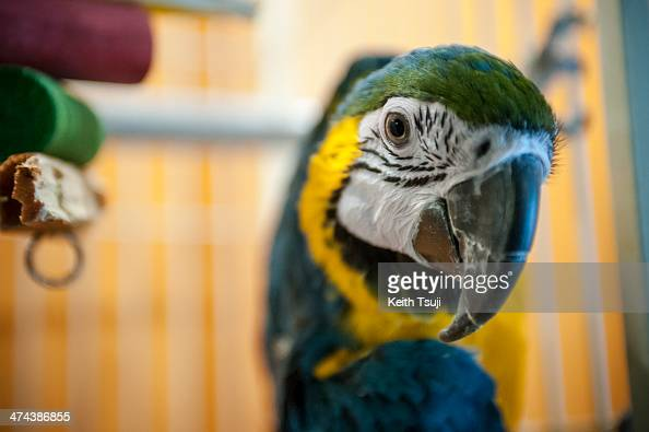 BlueandYellow Macaw waits to be petted at Torino Iru Cafe on February 23 2014 in Tokyo Japan Located in Kiba Tokyo Torino Iru is a cafe where people...