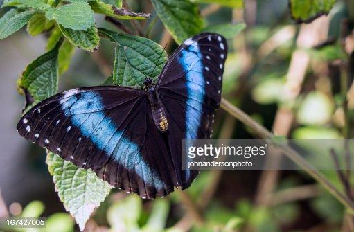 Azul-Morpho Peleides : Foto de stock