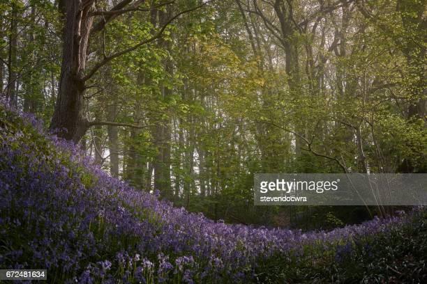 Bluebell forest in the springtime at Buckenham Woods.