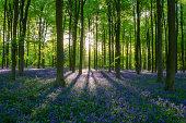 Bluebell glory