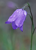 Bluebell or American Harebell and dew