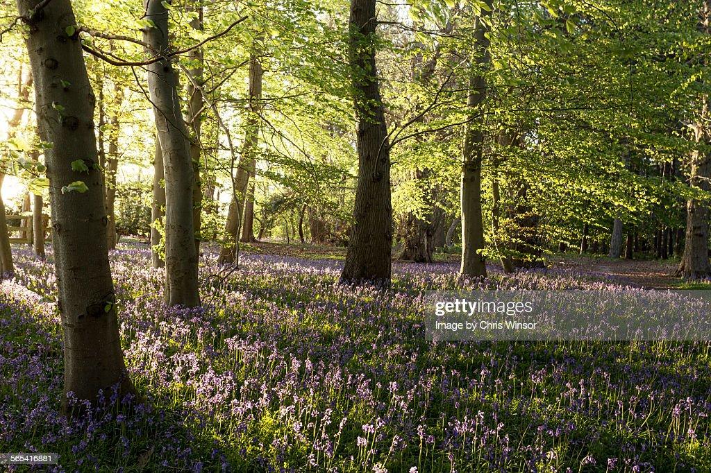 Bluebell wood evening