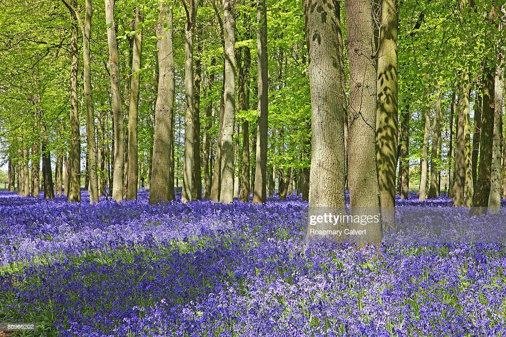 Bluebell wood in dappled sunshine.