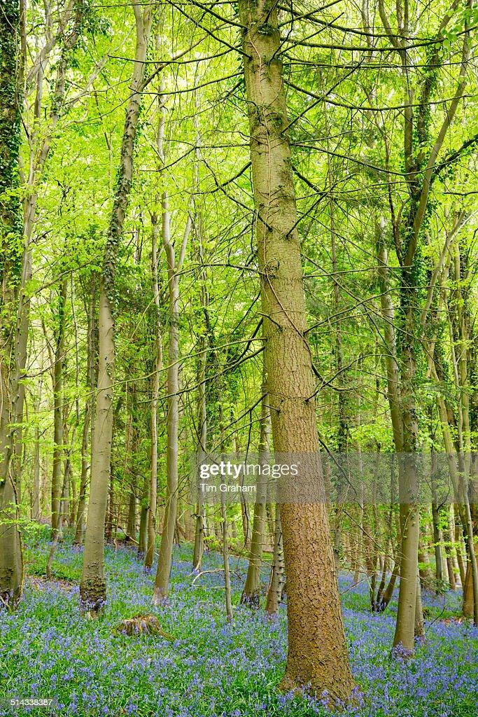 Bluebell wood, UK