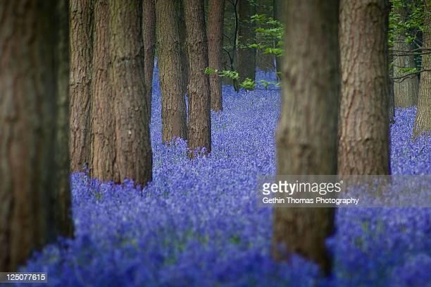 Bluebell wood, Warwickshire