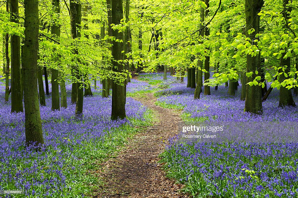 Bluebell wood with winding path and beech trees