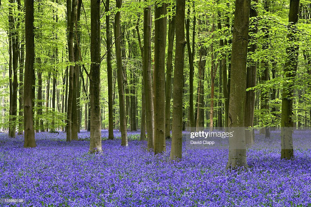 Bluebell woodland, Micheldever Forest, Hampshire, England : Stock Photo