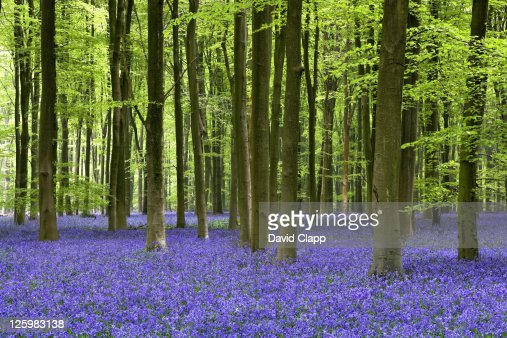 Bluebell woodland, Micheldever Forest, Hampshire, England : Stockfoto