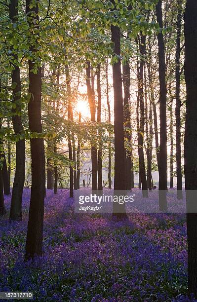 Bluebell woods with purple flowers and sun being in