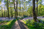 A wide angle view of a beautiful Bluebell forest in the English Lake District. Spring evening sunlight can be seen entering the forest through the trees producing long shadows of the trees and stunnin