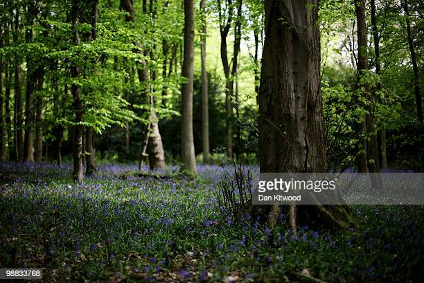 Bluebells add a splash of colour to the woodland floor at Box Hill on May 3 2010 in Dorking England