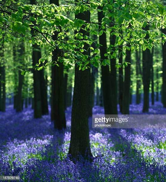 Bluebells and Beech Trees composition