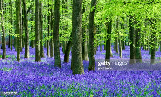 Bluebells and Beech trees natural setting