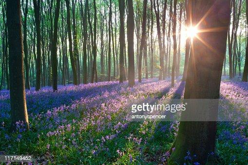 Bluebells at sunrise : Stock Photo