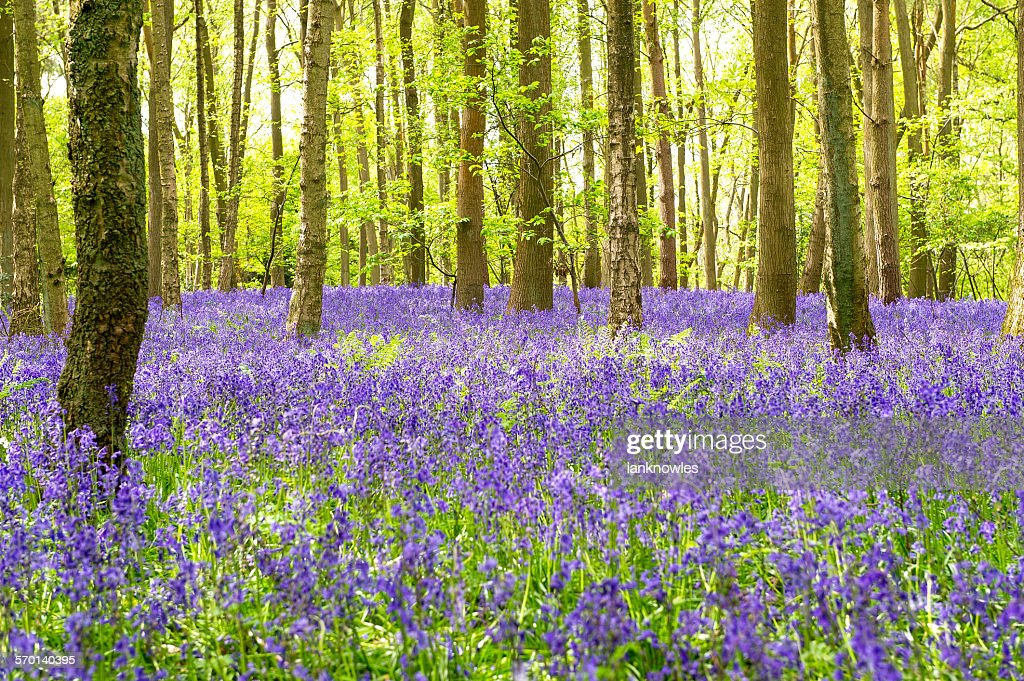 Bluebells, Austy Wood, Warwickshire, UK