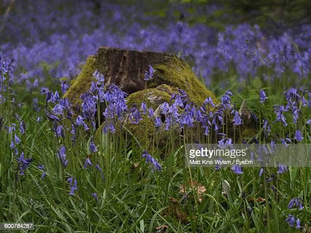Bluebells Blooming On Field In Forest