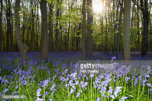 Bluebells covering forest floor : Stock Photo