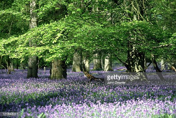 bluebells, endymion non-scriptus,  with beech in oak woods, forest of dean, gloucs.