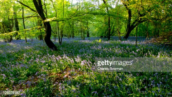 Bluebells flower in a forest in the White Downs : Stock Photo