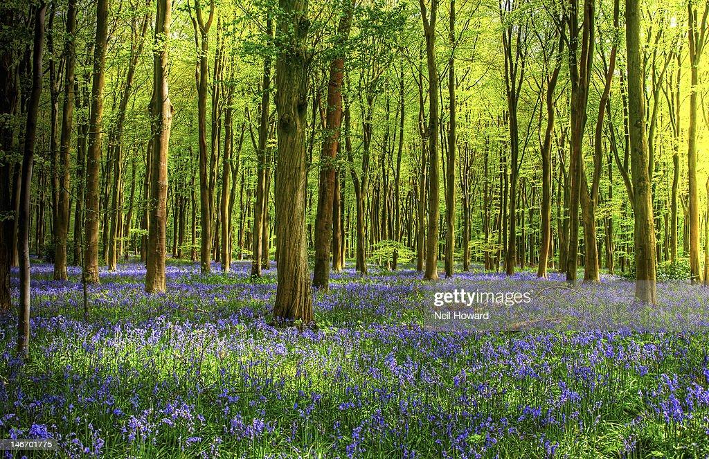 Bluebells flower under straight trees : Stock Photo