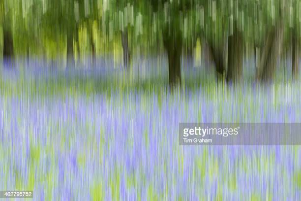 Bluebells flowering in bluebell wood in The Cotswolds UK